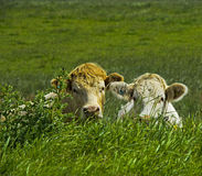Two cows hiding Royalty Free Stock Photo