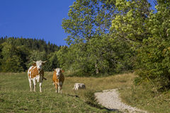 Two cows beside hiking path in the alps Stock Photos