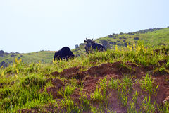 Two cows on the hill stock image
