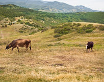 Two cows on the hillside Stock Image