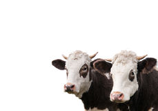 Two cows, isolated Royalty Free Stock Image