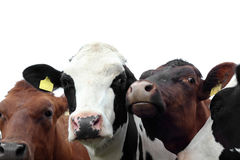 Two cows isolated on white Royalty Free Stock Photos