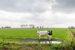 Two cows and a large meadow in autumn Royalty Free Stock Photo