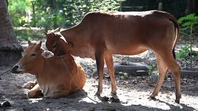 Two Cows licking and cleaning. In the farm stock footage