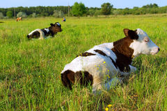 Two cows lie on spring field Stock Photos