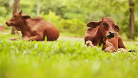 Two cows lies on the grass and rests. Vietnam. Shot in Full HD - 1920x1080, 30fps stock footage