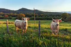 Two cows looking behind fence Stock Image