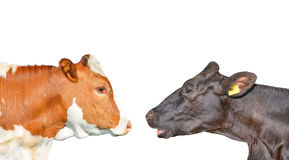 Two cows are looking at each other. Red spotted cow and black cow isolated on white. Cow portrait close up Royalty Free Stock Images