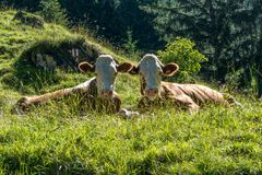 Two cows looking straight into the camera stock photography