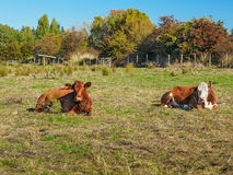 Two cows lying in the grass Stock Image