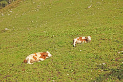 Two cows lying on the grass top view Royalty Free Stock Photo