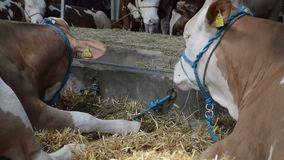 Two cows lying in the hay. Livestock concept stock video