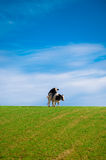 Two cows mating. In an open field or pasture Stock Photography