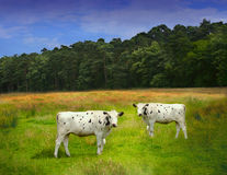 Two cows on a meadow. With sky and forest background stock images