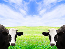 Two cows Stock Photography