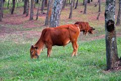 Two cows in the meadow in a forest. royalty free stock image