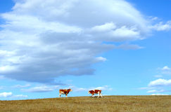 Two cows meeting in autumn field. Stock Images