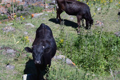 Two cows in the mountains Stock Image