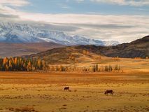Two Cows of mountains Kurai steppe Royalty Free Stock Photo