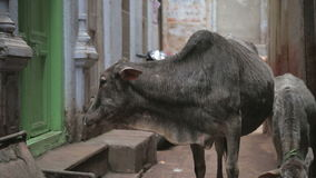 Two cows in narrow street in Varanasi. stock video
