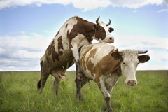 Two cows in nature. Green grass and blue sky Royalty Free Stock Photo