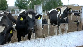 Two cows near fence. stock image