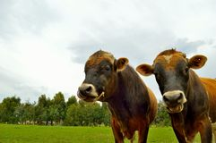 Two cows in a paddock Stock Images