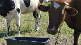 Two cows in pasture closeup. Around fly and bite horsefly stock video footage