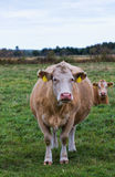 Two cows in a pasture Royalty Free Stock Photos
