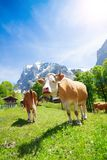 Two cows in the pasture. Two cows on a pasture in Switzerland with mountains and blue sky on background Royalty Free Stock Photos
