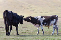 Two cows on pasture Stock Photography