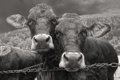 Two cows portrait in black and white Stock Photo