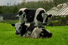 Two cows rest on the grass royalty free stock images