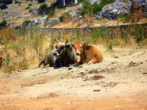 Two cows resting on the ground. A couple of cows resting on the ground. The photo was taken in the village Psarades in the greek region of Prespes Stock Images