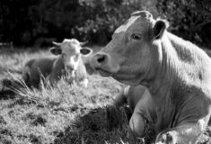 Cows resting in the sun - shot with analogue film. Two cows resting in the sun and nice summer day. Image is taken with a full-frame analogue film camera using royalty free stock images