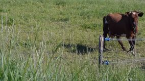 Two cows run in green meadow. Two cows grazed and run in green meadow stock video footage
