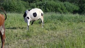 Two cows run and swatting at horseflies in pasture. Two cows run and swatting at horseflies in green pasture stock video