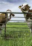 Two cows standing behind a fence in the field stock photography