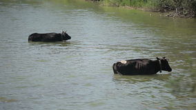Two cows standing in the river stock video