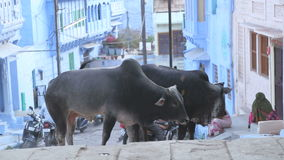 Two cows standing on the street in Jodhpur. stock footage