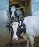 Two Cows Staring stock images