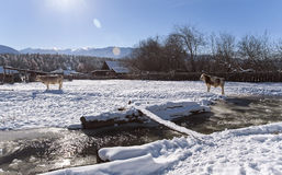 Two cows stay near mountain river in the winter snowy time. Cows stay near mountain river in the winter snowy time Stock Images