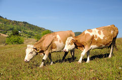 Two cows in a summer landscape stock photography