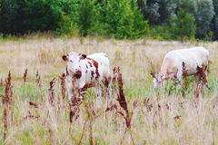 Two cows on a summer pasture Royalty Free Stock Image