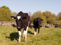 Two cows on a sunny day standing close and staring in spring sun Royalty Free Stock Photos