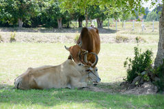 Two cows tease snuggle together in the shade to avoid heat of th Stock Photos