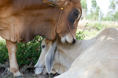 Two cows tease snuggle together in the shade to avoid heat of th Stock Image