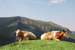 Two cows at the top of hill in Stock Photos