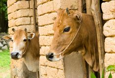 Two cows in the traditional rural stall - Yangshuo Stock Image