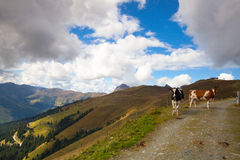 Two cows on the trail in Tyrolean Alps Stock Photos